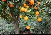 ساری| 1000 تن سیب و پرتغال شب عید در مازندران توزیع میشود
