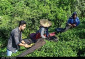 مازندران|مطالبات چایکاران شمال پرداخت شد