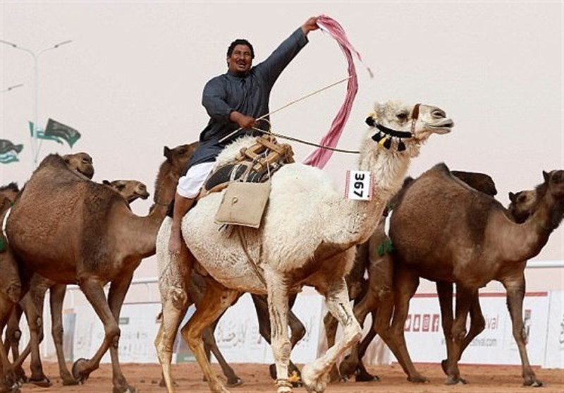 Camels Disqualified from Saudi Beauty Contest for Botox