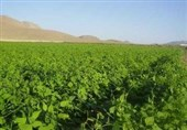 مرکزی| ایران صادرکننده حبوبات در چند سال اخیر واردکننده حبوبات شده است