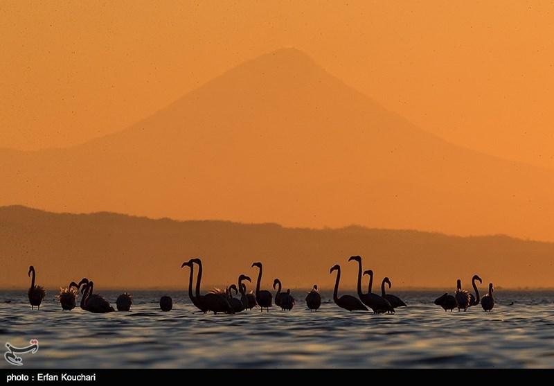 Flamingos Migrate to Miankaleh Lagoon in Iran