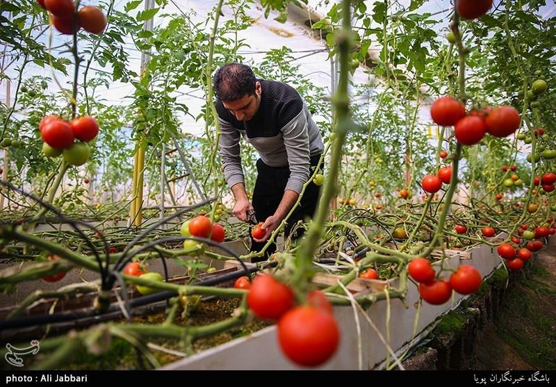 «کشاورزی»، ناجی اقتصاد| 270هزار هکتار زمین در ایران مستعد احداث گلخانه با اشتغالزایی 1.7 میلیون نفری