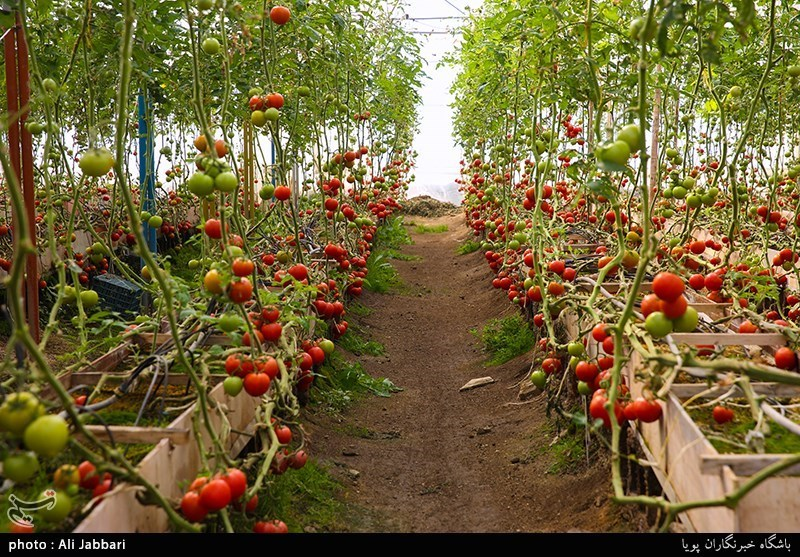 خراسانرضوی| ارزآوری 100 میلیون دلاری صادرات سازه و تجهیزات گلخانهای