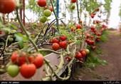 15 محصول کشاورزی در کرمان استاندارد دریافت میکنند