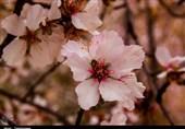 یزد| شکوفههای زمستانه درختان در بافق به روایت تصویر