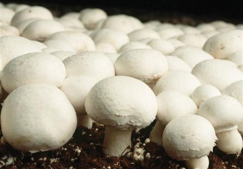 """""""قارچهای سمی"""" از طریق ویژگیهای ظاهری، بو و رنگ قابل تشخیص نیست"""