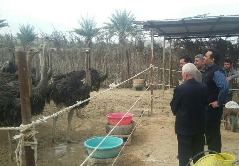 فارس| درآمد 15 میلیون تومانی با پرورش شترمرغ؛ پشتکار رمز موفقیت