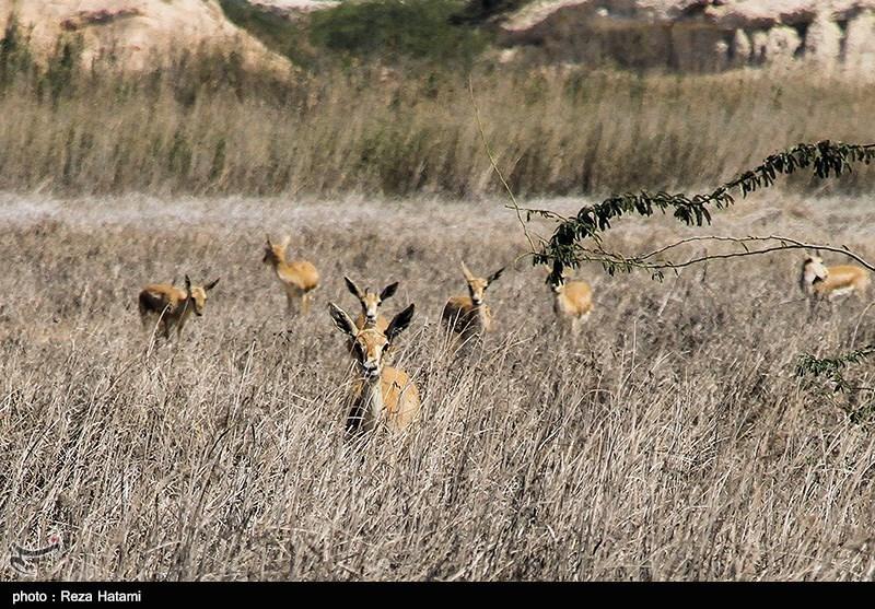 بوشهر| گونههای حیات وحش منطقه شکار ممنوع دشتستان افزایش یافت