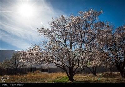 ایران کے شہر شیراز میں موسم سرما کے پھول یا بہار کی آمد !