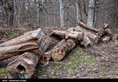عاملان قطع درختان جاده قزوین ـ تاکستان دستگیر شدند