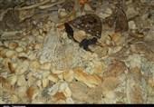 خراسانرضوی| استفاده از نان خشکِ کپکزده در برخی دامداریهای سبزوار+فیلم