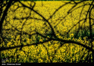 مزارع نبات الشلجم شرقی مازندران