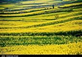تغییر رویکرد کشاورزی در آذربایجان غربی؛ کلزا جایگزین محصولات پر آببر شد