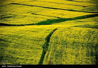 مزارع کلزا در شرق مازندران