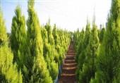 کدام درخت در اقلیم ایران سازگار است/مضرات کاشت کاج و سرو