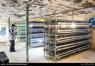 مسعود سبزآبادی در سال94 با سرمایه اولیه 8 میلیون تومان و خرید 200عدد بلدرچین وارد حوزه پرورش بلدرچین شد
