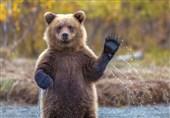 اردبیل|30 قلاده خرس قهوهای نادر در مشگینشهر شناسایی شد