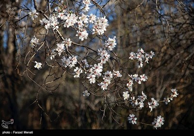 Blossoms Herald Spring in Iran