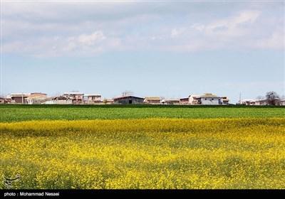 مزرعه کلزا در گرگان