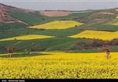 گلستان| کشت بیش از 12 هزار هکتار کلزا در شهرستان گنبدکاووس