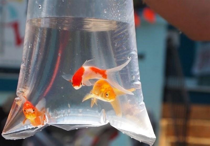 توصیههای بهداشتی برای خرید و نگهداری ماهی قرمز شب عید
