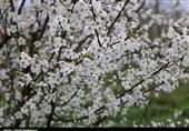 گیلان| شکوفههای بهاری در رودسر به روایت تصویر