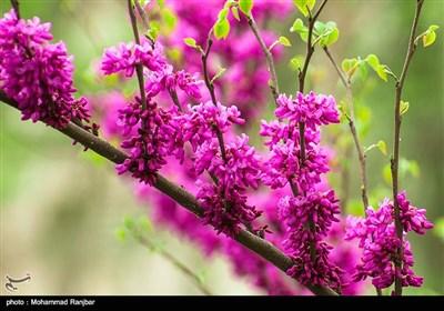 شکوفه های بهاری - گیلان