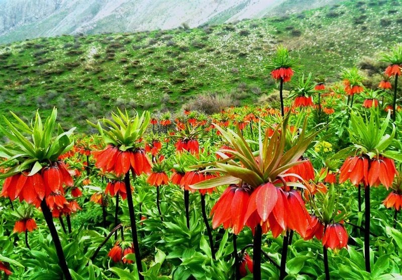 "لرستان| سفر به سرزمین لالههای واژگون؛ ""الیگودرز"" شهر گل و آبشار+ تصاویر"