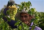 آذربایجانشرقی  3 هزار کشاورز ملکان از بیمه محصولات کشاورزی منصرف شدند