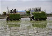 نخستین نشا مکانیزه برنج کشور در مازندران آغاز شد + فیلم