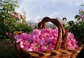 کرمان| اختتامیه دوازدهمین جشنواره گل محمدی لالهزار برگزار شد