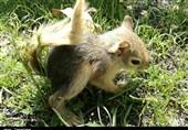 سنجابهای مهاجر باغات قدیم آباد قزوین را تهدید میکنند