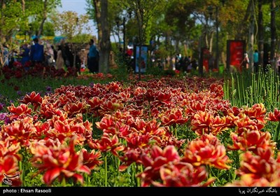 Tulips Festival Held in Iran's Karaj