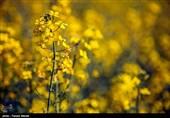 3000 تن کلزا از مزارع استان لرستان برداشت میشود