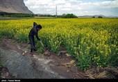 عملکرد کشتهای آبی و دیم استان فارس افزایش مییابد