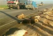 لرستان|43 رأس گوسفند بر اثر تصادف در محور خرمآباد ـ دلفان تلف شد
