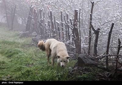 بارش برف بهاری در اشکورات گیلان
