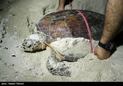 Hawksbill Turtles Come to Kish Island to Lay Eggs