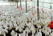 امکان خودکفایی ایران در تولید مرغ لاین با برنامهریزی 2 ساله