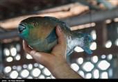 """دلالان ماهی یا به اصطلاح محلی """"خونخواران صیادی""""، بلای جان صیادان سیستان و بلوچستان"""