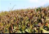 کاهش دمای زودهنگام به محصولات کشاورزی خسارت میلیاردی وارد کرد