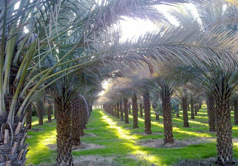 بوشهر| طرح نخلستان در شهرستان دشتستان عملیاتی شد