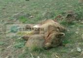 پنهانکاری خبر شکار یک خرس در سنگرود گیلان