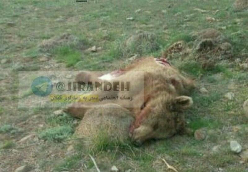 محیطزیست گیلان: لاشه خرس سنگرود دو شب پیش کشف شد