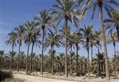 بوشهر|25 میلیارد تومان در اجرای طرح آبیاری نوین در نخلستانهای استان بوشهر تامین میشود