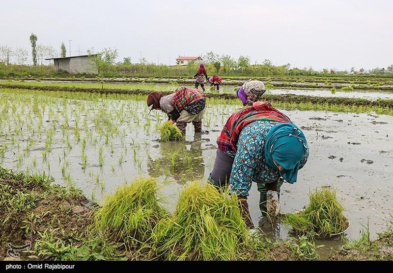 تبدیل گیلان به استان پایلوت فرآوری محصولات کشاورزی؛ مسیر تجاری نوستراک تقویت میشود