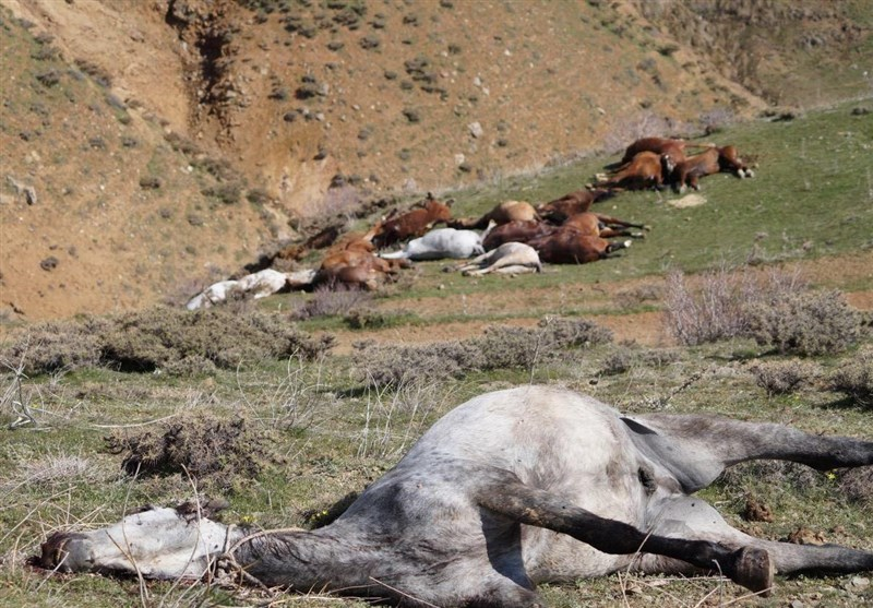 با قربانیان نجیب قاچاق / کشتار اسبهای باربر ادامه دارد + فیلم