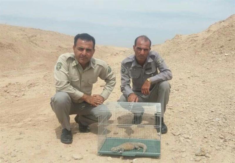 خوزستان| یک قطعه نایاب خاردم ایرانی توسط محیط بانان به طبیعت بازگشت