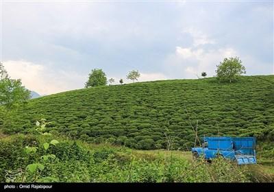 Tea-Leaf Picking in Iran's Northern Gilan Province
