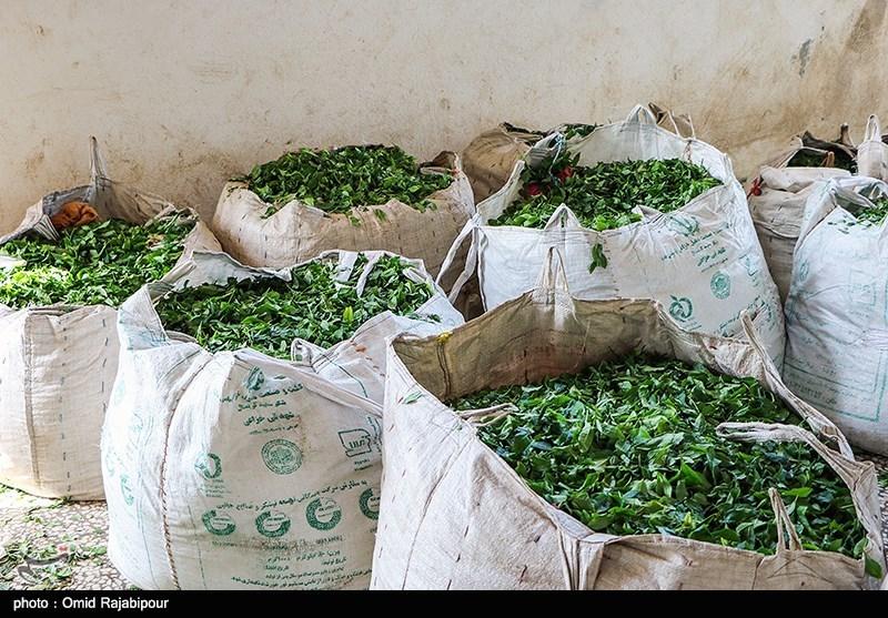 رئیس سازمان چای: ایران از صادرات 13 هزار تن چای 17 میلیون دلار درآمد ارزی به دست آورد